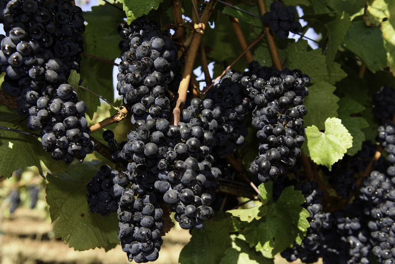 Cluster of oregon Pinot Noir